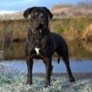 Самобытный пес из Италии - Кане-корсо