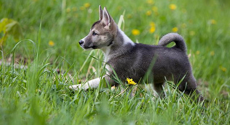 фото щенка западносибирской лайки