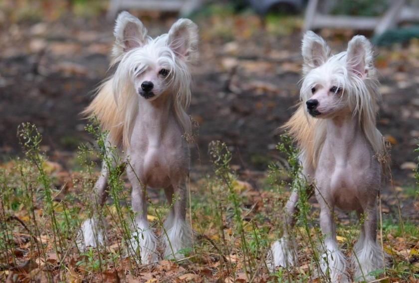 фото китайской собачки
