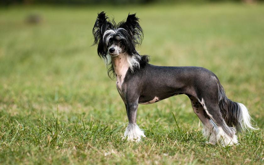 фото хохлатой собаки