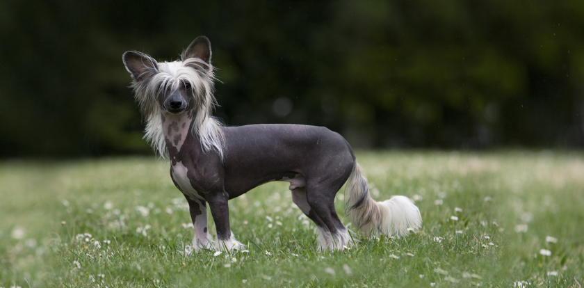 На фотографии китайская хохлатая собака