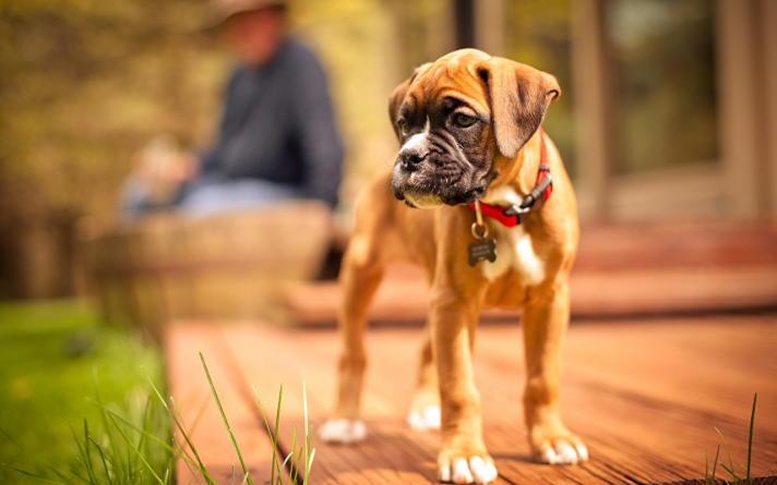 фото щенка немецкого боксера