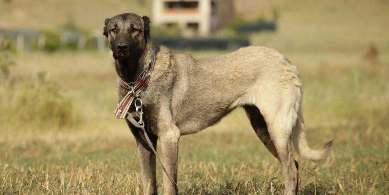 собака кангал