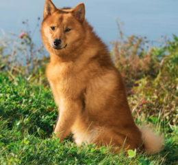 Карело-финская лайка (Карелка) - русская охотничья порода