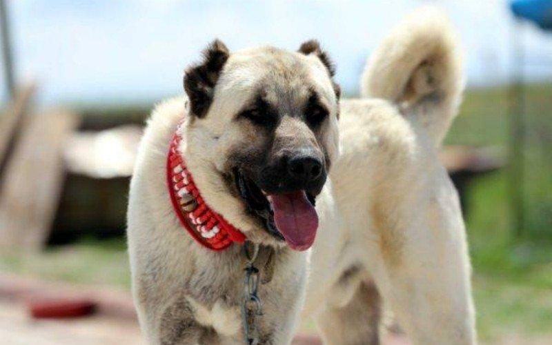 турецкая собака кангал