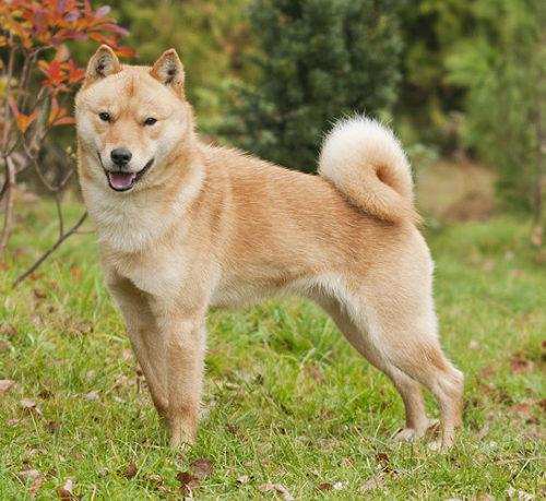 Японская собака - Айну (Японская Сета)