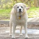 Ожирение и болезни собак, связанные с лишним весом