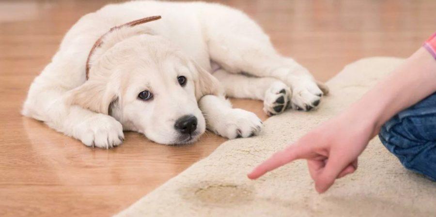 Взрослая собака гадит дома