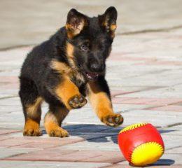 Как правильно дрессировать щенков Немецкой овчарки: основы воспитания от кинолога