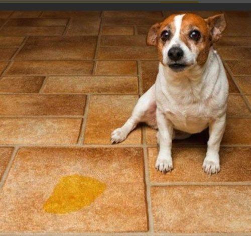 Как проявляется цистит у собак