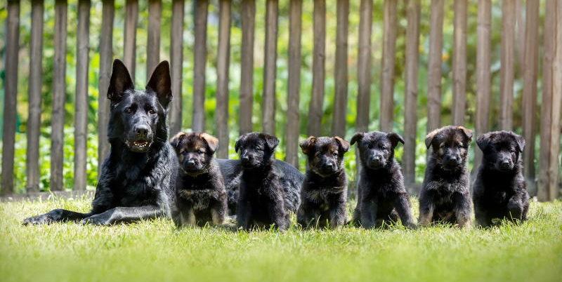 фото щенков немецкой овчарки