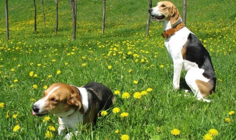 фотография собак гончих