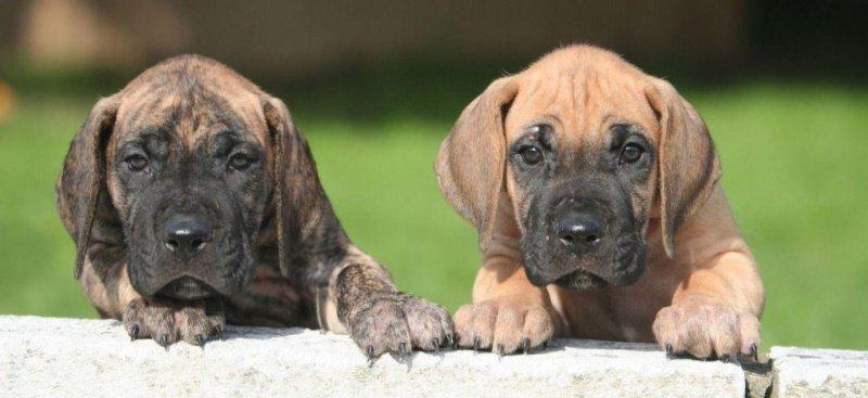 на фото щенки немецкого дога