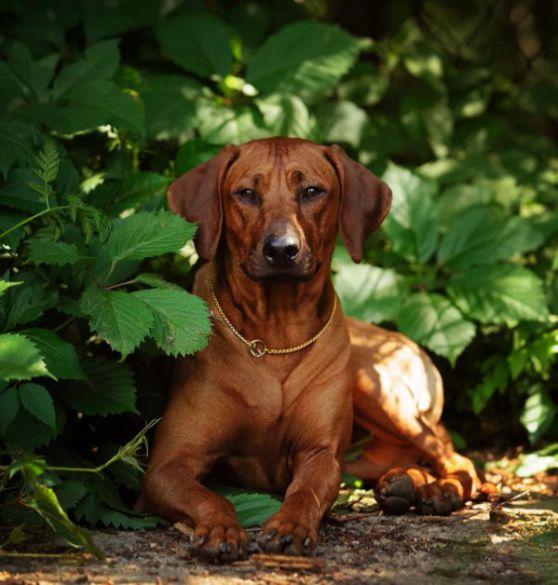 Древняя самобытная порода - Родезийский риджбек (Африканская львиная собака)