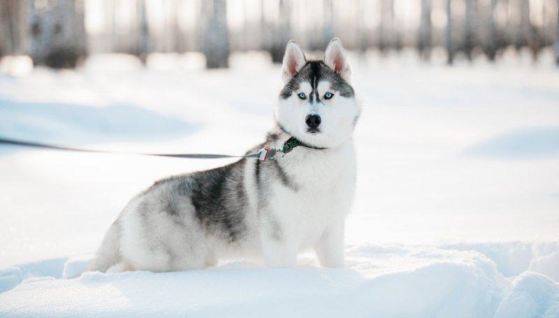 фотография собаки хаски