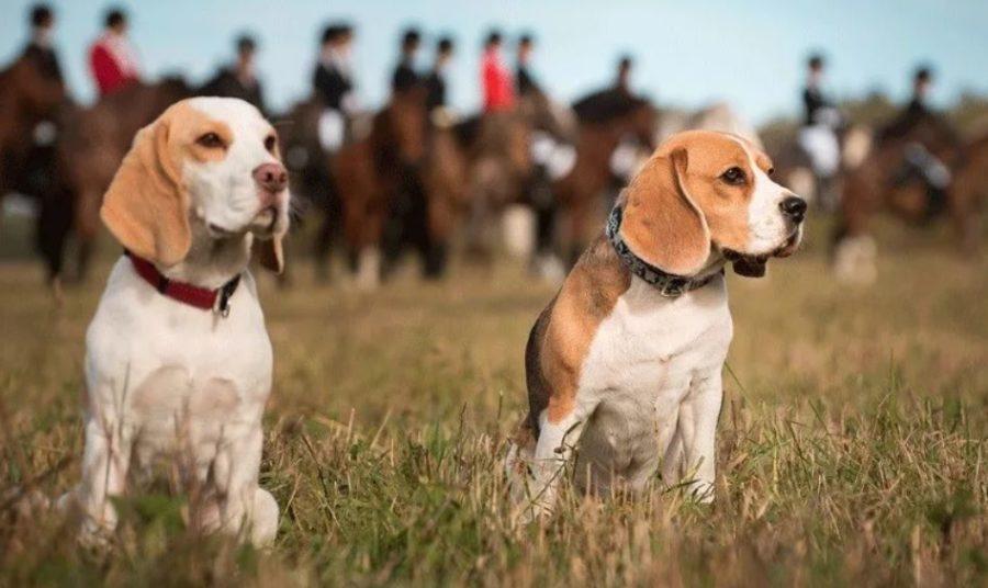 породы гончих собак