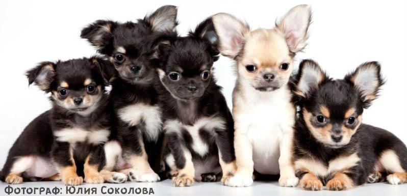 щенки чихуахуа фото