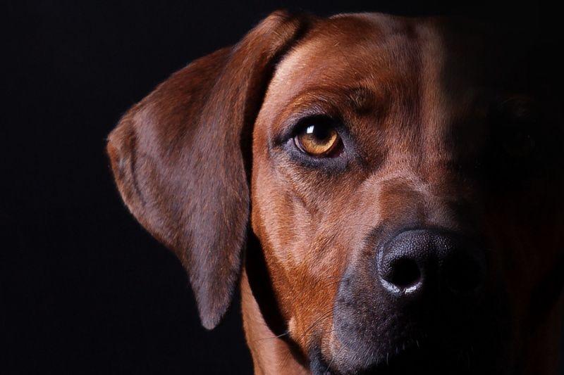 Родезийский риджбек фотография собаки