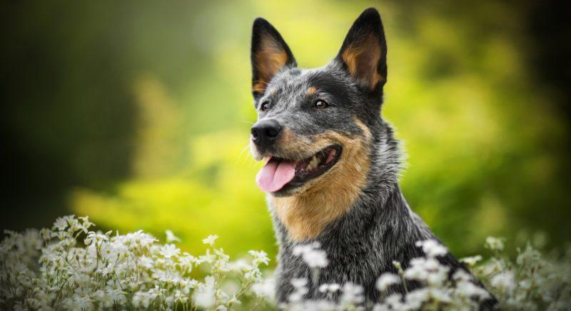 Австралийский хилер или Австралийская пастушья собака: характеристики и уход