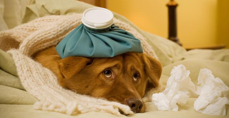 собачий грипп признаки