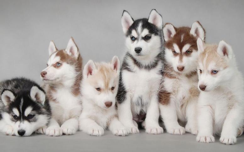 фото щенков хаски