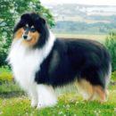 Умная и красивая Колли - Шотландская овчарка