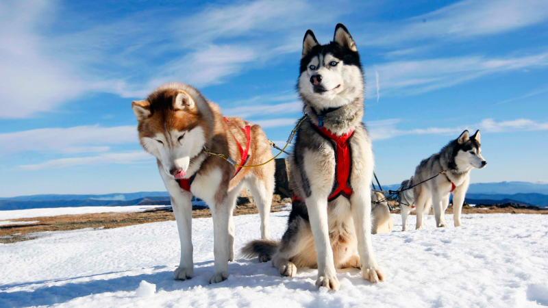 собаки с голубыми глазами