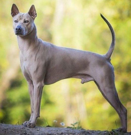 Экзотический пес МахТай. Подождите загрузки картинки!