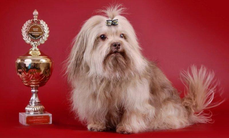 как выбрать щенка русской цветной болонки