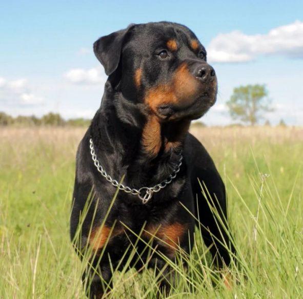 Брутальный и сильный пес - Ротвейлер