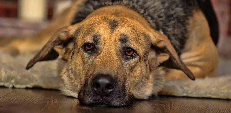Чем личить цистит собаке