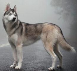 Настоящий северный волк - Сибирский хаски