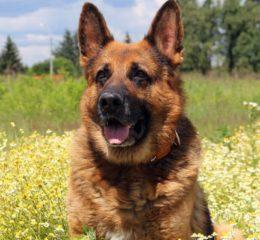 Немецкая овчарка - 60 лучших фото собаки