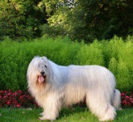 Мощный и независемый пес - Южнорусская овчарка