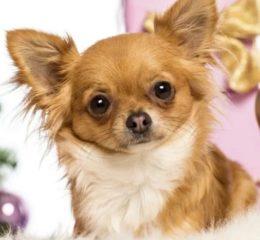 Самые миниатюрные собачки в мире - Чихуахуа