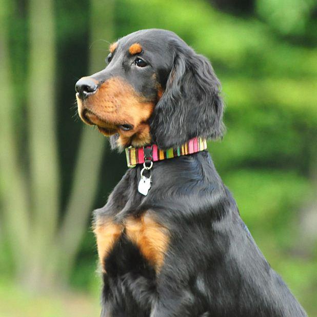 Шотландская подружейная собака- Сеттер (Гордон)
