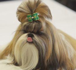 Львиный императорский пес (Хризантема) - Ши-тцу́