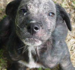 Демодекоз (Demodex canis, injai, mange) - вредоносный клещ у собак