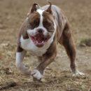 ТОП-20 - Бойцовские породы собак: описание, фото, названия