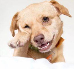 Основные виды дерматита у собак и их лечение