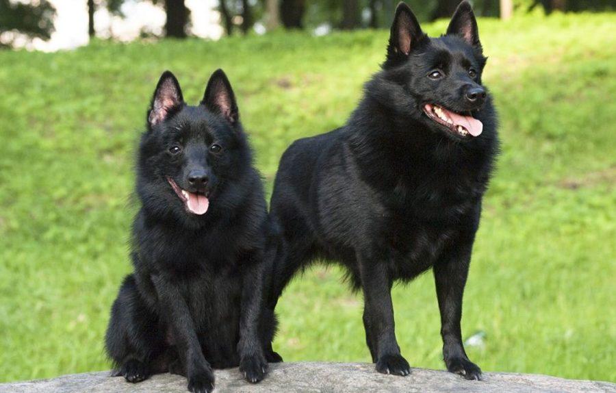 на фото собаки Шипперке