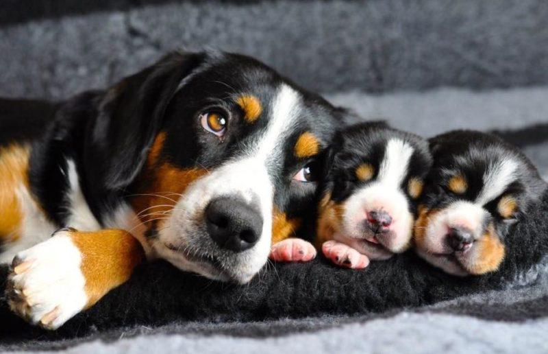 Энтлебухер зенненхунд с щенками