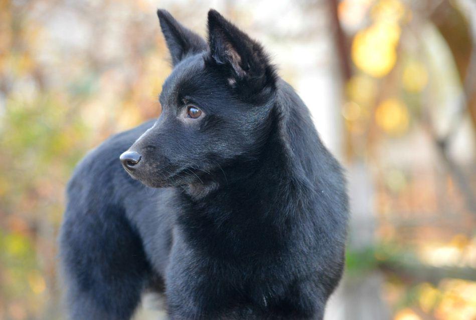 порода собаки Шипперке
