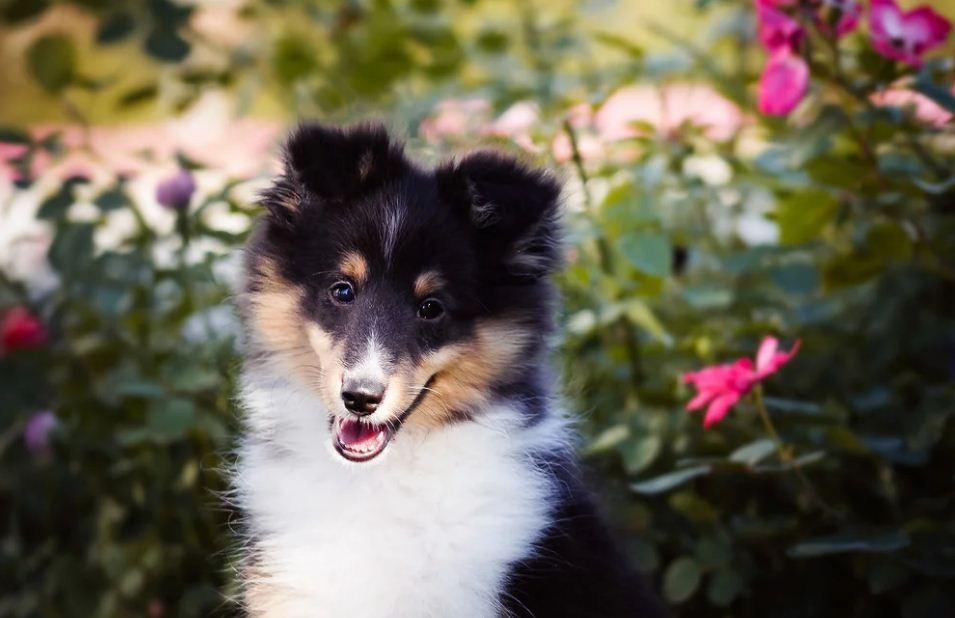 щенок Шелти