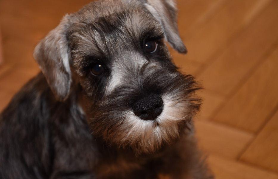 щенок Цвергшнауцера