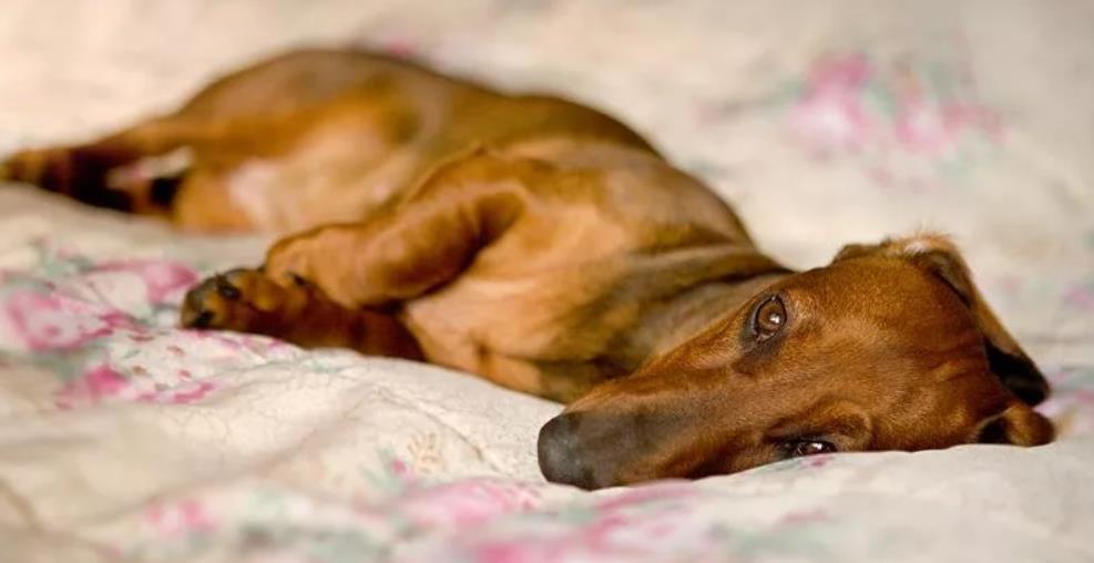 у собаки ложная беременность