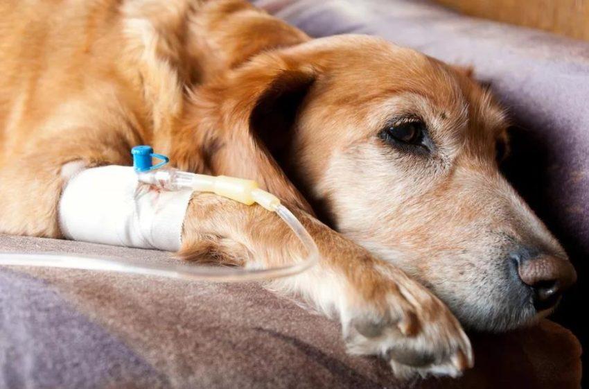 анафилактический шок у собаки
