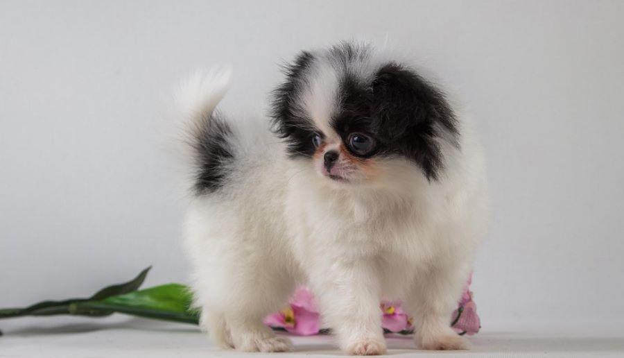 фото щенка японского хина