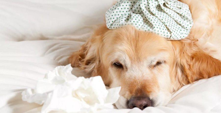 как лечить кашель у собаки