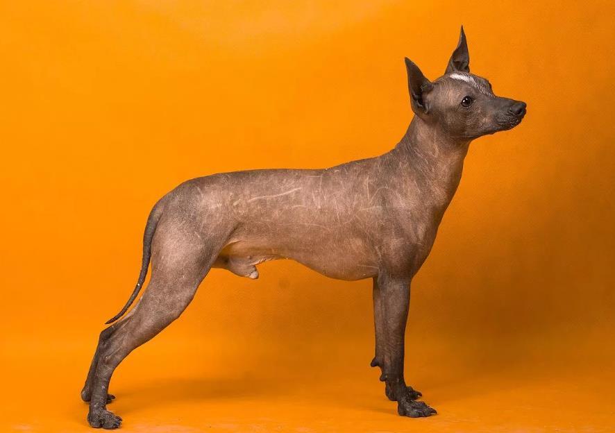 Ксолоитцкуинтли лысая собака